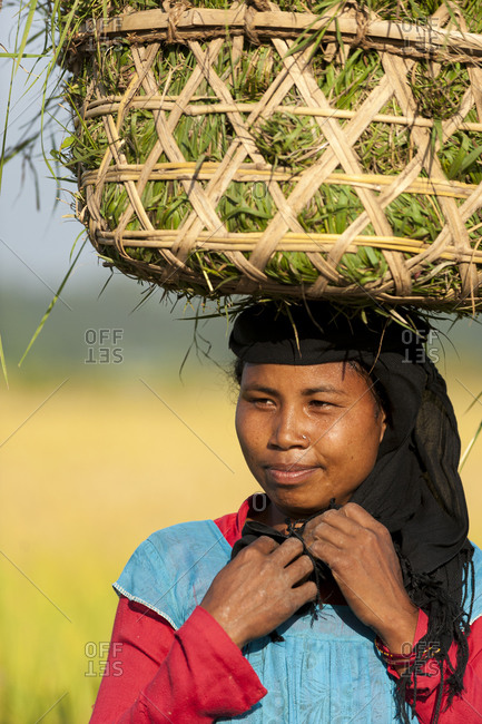 A woman collects grasses in a basket made of bamboo from the rice paddies to help the rice grow and also to use as fodder to feed her animals