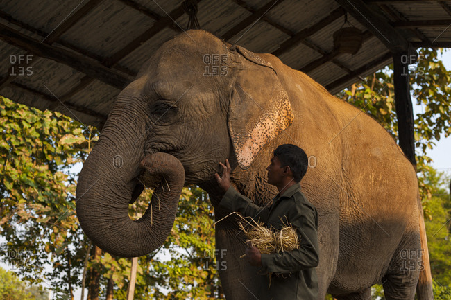 A mahout at Bardia National Park in Nepal feeds his elephant