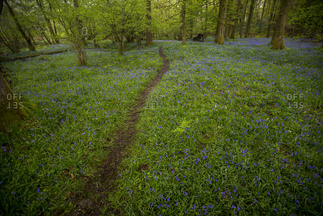 A forest floor covered in Bluebells near Grasmere in the Lake District