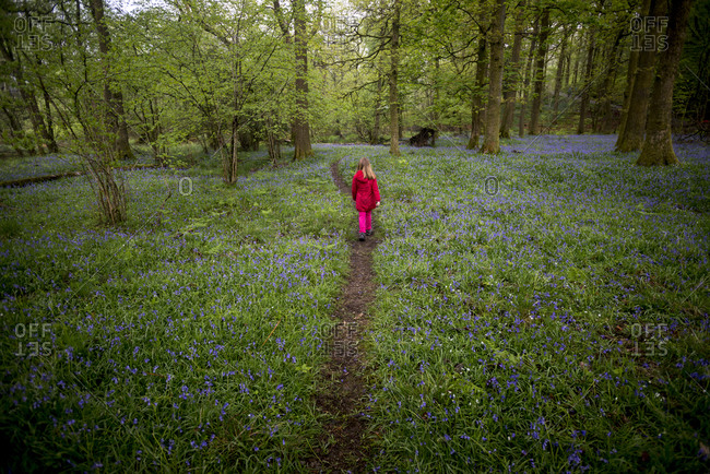 A little girl walks through a forest surrounded by Bluebells near Grasmere in the Lake District
