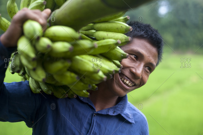 A man carries a bunch of bananas to market on his shoulder