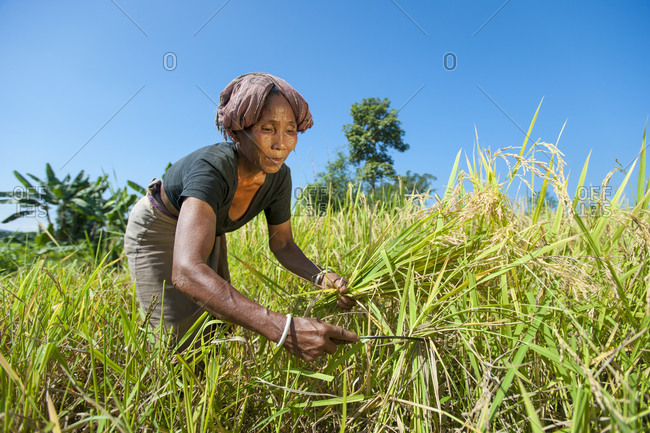 A woman harvests rice with a sickle in the Chittagong Hill Tracts in Bangladesh