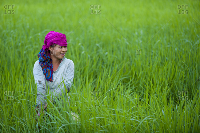 A girl clears weeds from the water in bright green young rice paddies in the Chittagong Hill Tracts