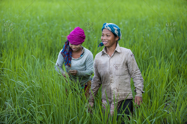 Bandarban, Chittagong Hill Tracts, Bangladesh - October 5, 2010: Girls clear weeds from the water in bright green young rice paddies in the Chittagong Hill Tracts