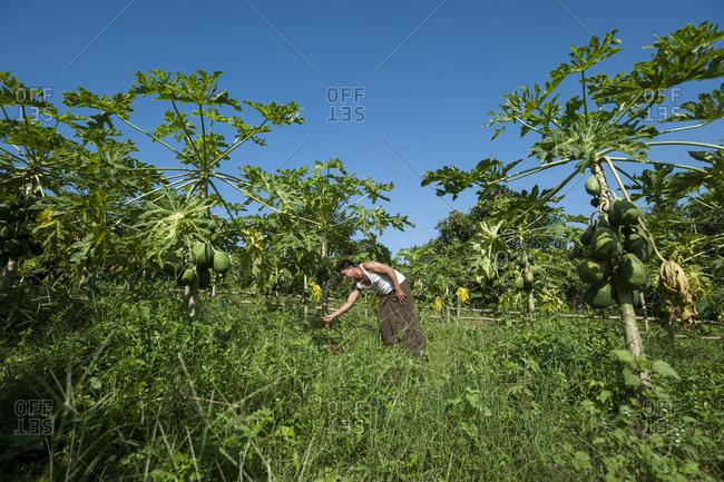 Bandarban, Chittagong Hill Tracts, Bangladesh - October 5, 2010: A man clears away weeds in a Papaya plantation