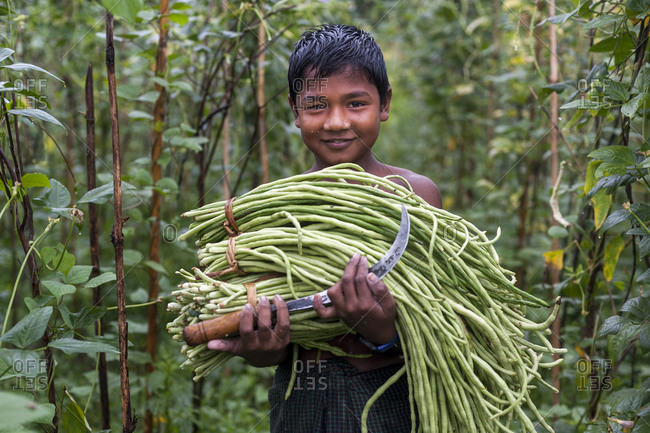 Bandarban, Chittagong Hill Tracts, Bangladesh - October 6, 2010: A boy harvests long beans in the Chittagong Hill Tracts in Bangladesh