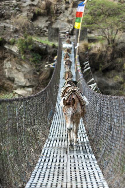 Pack horses cross a bridge in the Manaslu region of Nepal