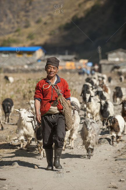 A shepherd takes his goats to graze in the Manaslu region of Nepal