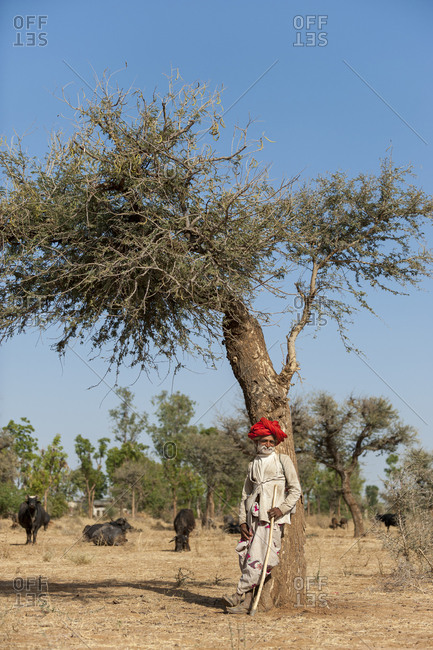 Rajasthan, India - March 10, 2012: An old farmer tending to his buffaloes and goats in the desert scrubland of Rajasthan