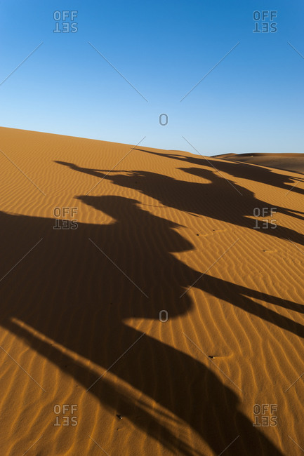 A caravan of camels casts shadows at Erg Chebbi sand dunes in Morocco