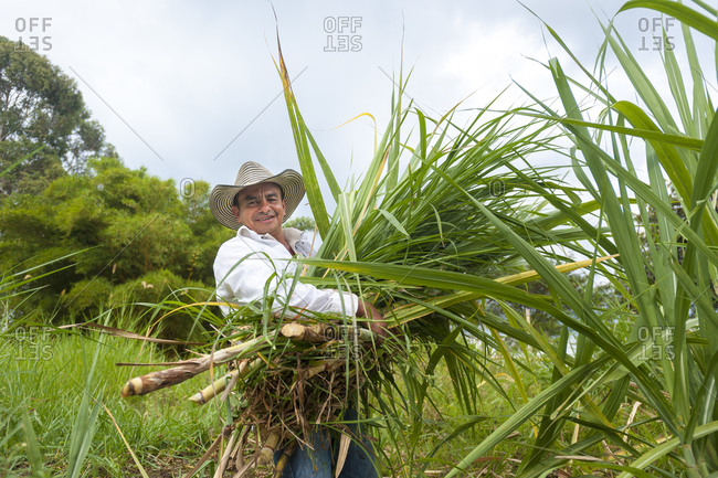 Farmer wearing traditional Colombian Sombrero Vueltiao hat while harvesting sugar cane