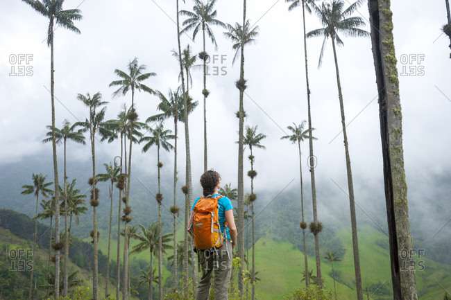 A hiker standing among Wax palms which are the highest in the world in the Cocora valley in Colombia