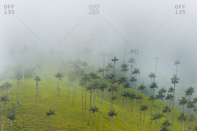 Wax palms in the Cocora valley in Colombia. The lanky tree is the world's tallest palm tree, reaching up to 200 feet tall.