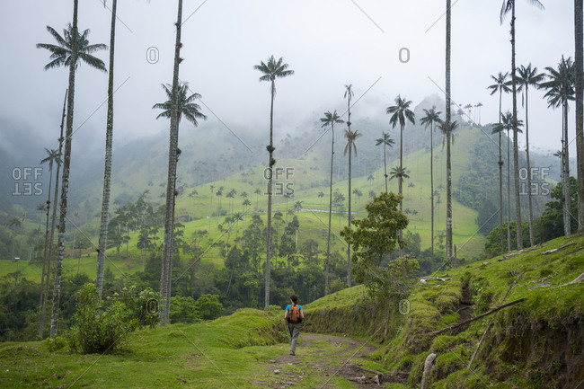A hiker walking among Wax palms which are the highest in the world in the Cocora valley in Colombia