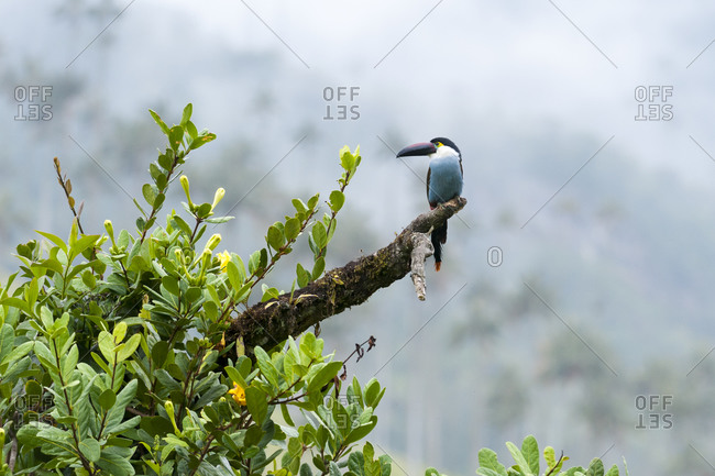 There are 24 species of toucans in Colombia. This one is in the Cocora valley among Wax Palms, the tallest palms trees in the world