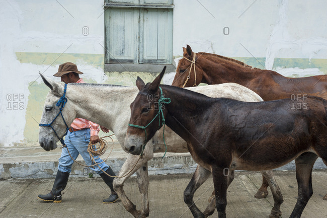 Salento, Colombia - February 9, 2013: A man takes his horses through the streets of Salento in Colombia