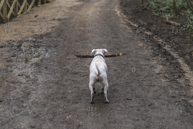 A dog on a muddy path in London with a big stick