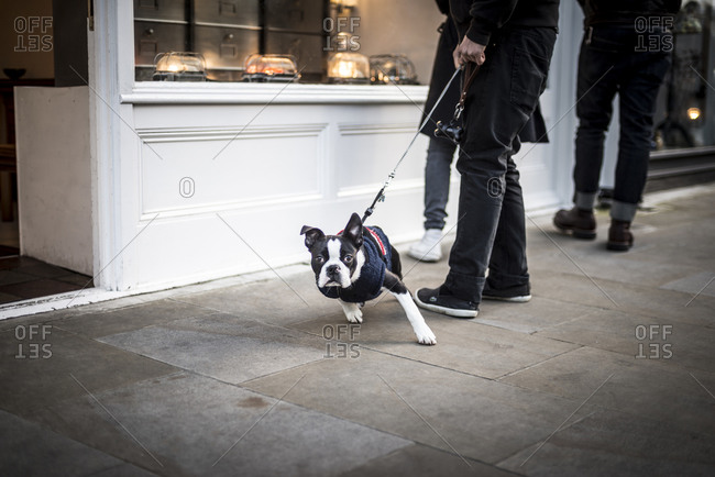 A dog on a lead in London's Broadway Market tries to escape to come and see the photographer