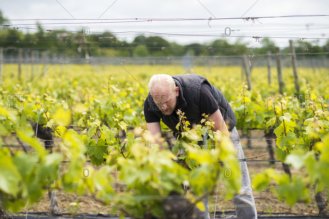 Inspecting budding grapes in a vineyard in Sussex in the UK