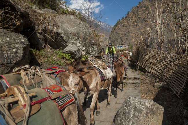 A mountain biker behind pack horses in Jagat in the Manaslu region