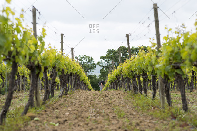 A man working in a winery in England inspecting the vines