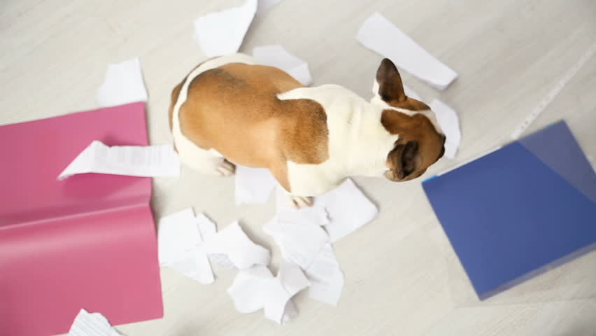 A domestic pet has taken on a home. Torn documents on white floor. Pet care abstract photo. Small guilty dog with funny face. | Shutterstock HD Video #1005604417
