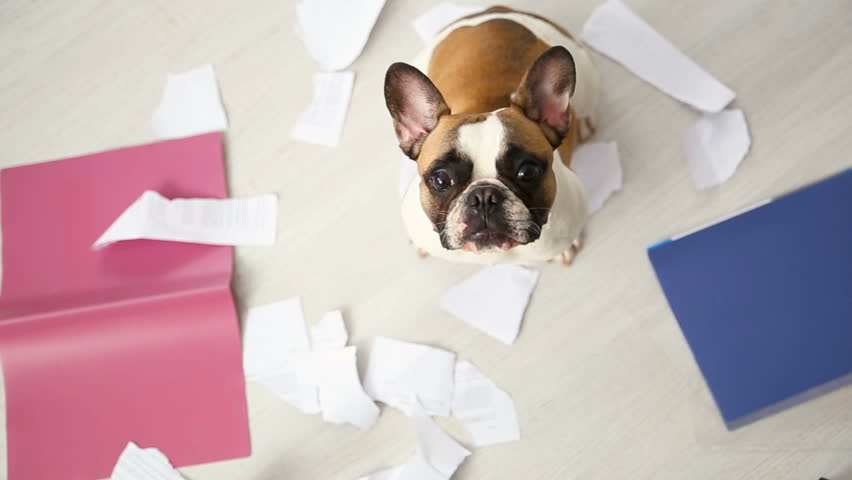 A domestic pet has taken on a home. Torn documents on white floor. Pet care abstract photo. Small guilty dog with funny face. | Shutterstock HD Video #1005604423