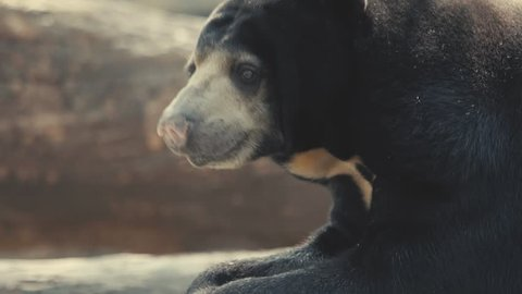 Close up of Bear face in slow motion