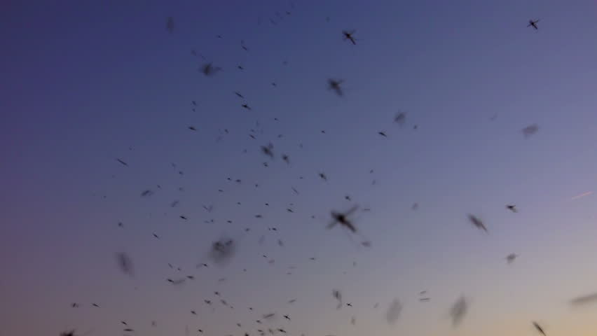 4K swarm of mosquitoes buzzing in nature at sunset summer sky. Sony shoot