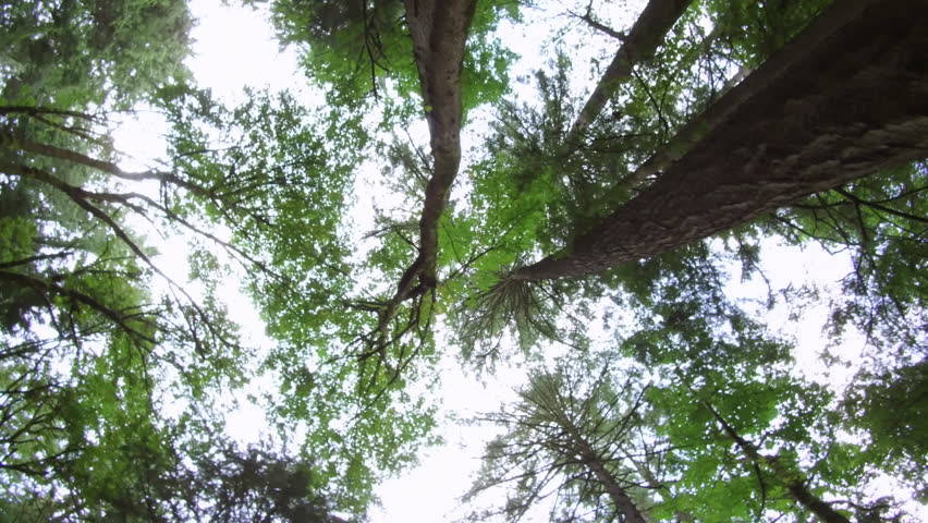 Unique steadicam POV perspective looking straight up at pine trees in forest while walking. ProRes file, shot in 4K UHD. | Shutterstock HD Video #1006570036
