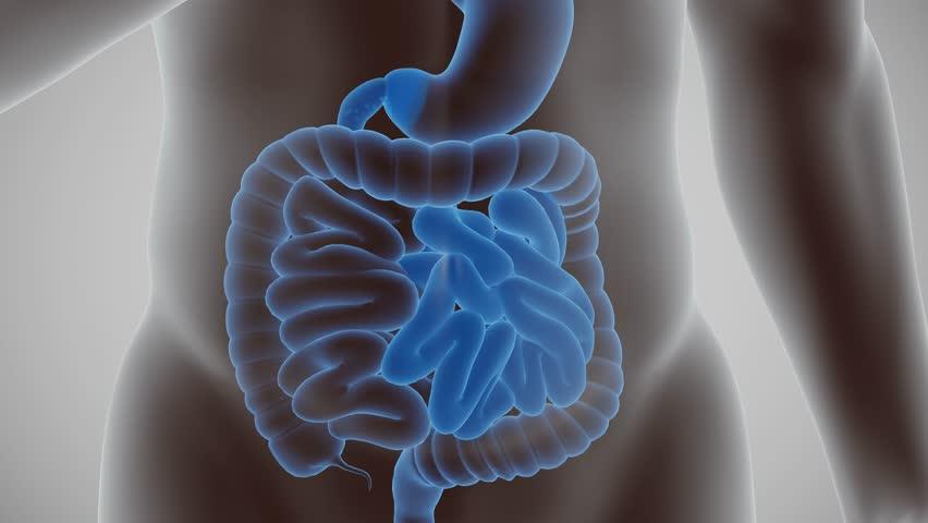 Human body digestive cycle
