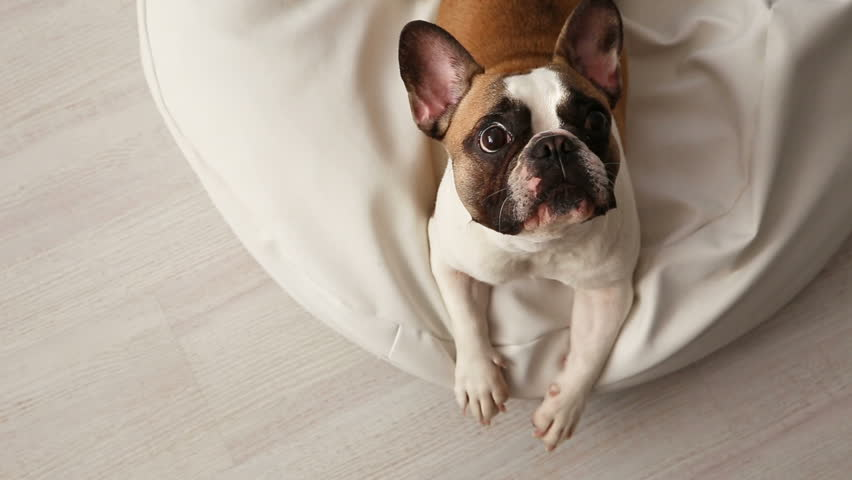 the dog barks. a displeased French bulldog barking at home on a white sunbed in a bright interior.