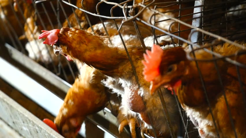 Poultry farm with a lot of birds in the cage. Automatic power supply. The concept of production automation   Shutterstock HD Video #1006678723