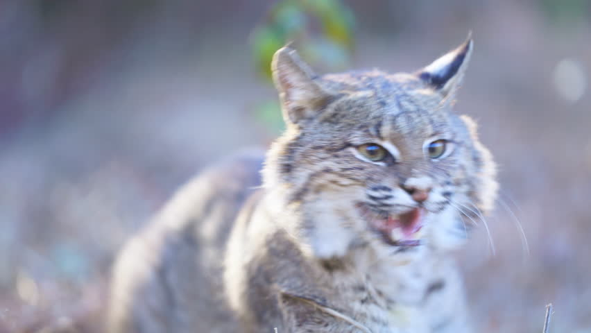American Bobcat (Lynx rufus) growling and hissing.  January in Georgia. | Shutterstock HD Video #1006711576