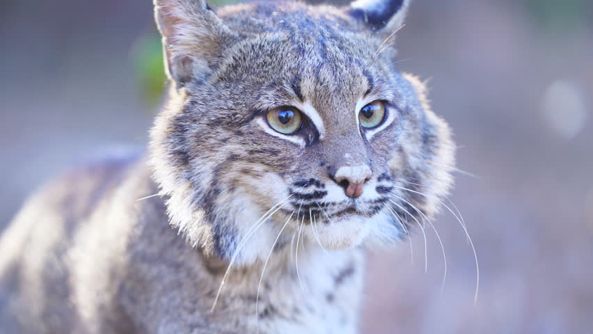 American Bobcat (Lynx rufus) growling and hissing.  January in Georgia. Close up of face. | Shutterstock HD Video #1006711729