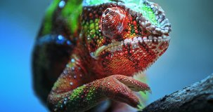 Close-up macro view of Chameleon tropical lizard with colorful textured skin walking on tree branch in tropical nature