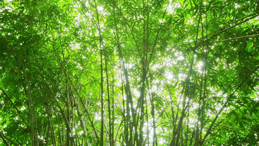 Camera view and bamboo forest canopy rotate and pivot, turn around POV video inside tropical vegetation | Shutterstock HD Video #1006717384