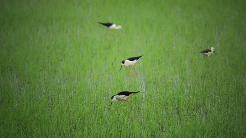 Black-winged Stilt on green field | Shutterstock HD Video #1006730608