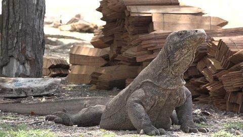 The dragon of the island of Komodo. Indonesia