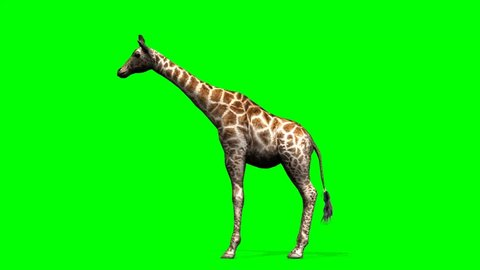 Giraffe - an African giraffe standing and looking around - green screen