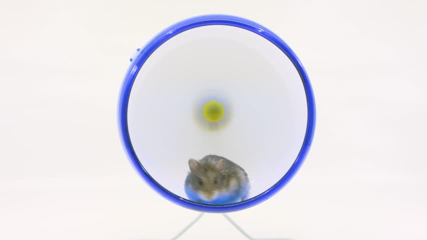Hamster runs in wheel, stops to groom and then continues running on white background,