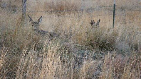Mule deer in the early morning hours