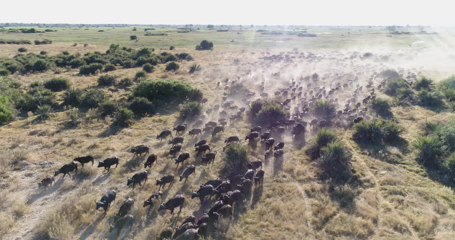 Aerial panning view of a large herd of Cape buffalo running across the plains of the Okavango Delta, Botswana