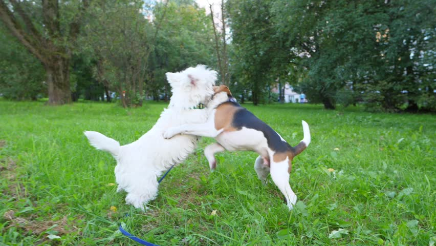 Funny young dogs play and fight on grass, stand on hind legs and hug in roughhousing struggle, slow motion shot. White terrier and small beagle spend time in active wrestling at park lawn | Shutterstock HD Video #1006962466