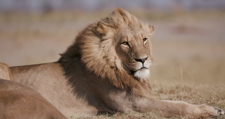 Tight portrait of male lion looking around, Botswana #1006971646