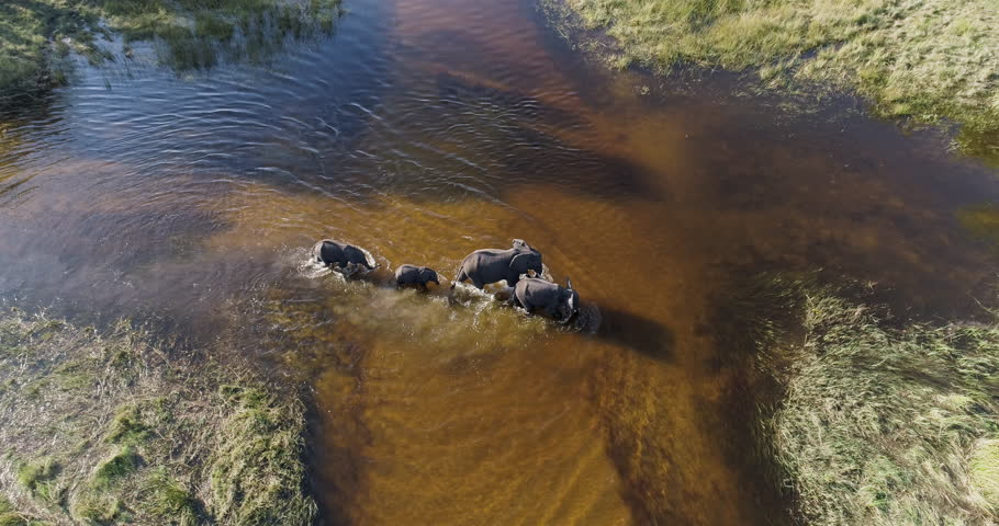 Spectacular aerial zoom in view of two female elephants and two young calfs crossing a river in the Okavango Delta, Botswana