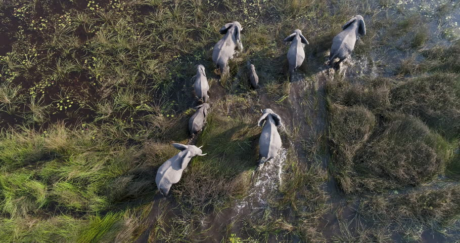 Close-up aerial view of a breeding herd of elephants walking in the marshy grasslands of the Okavango Delta, Botswana