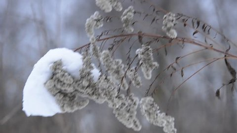 Beautiful frozen winter plant under the covered with snow cap against trees background.