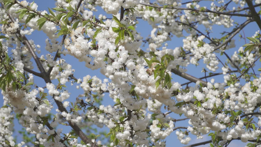 Close Up White Cherry Blossom Stock Footage Video 100 Royalty
