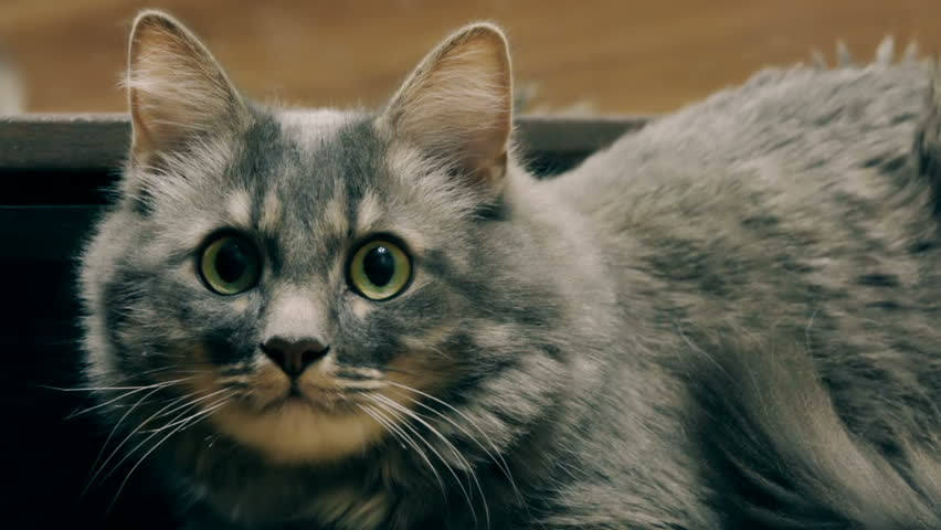 A beautiful aggressive gray cat hisses into the camera, instills fear, the instinct of self-preservation. Slow motion | Shutterstock HD Video #1007054689